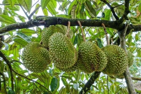 Desaru-Fruit-Farm-2